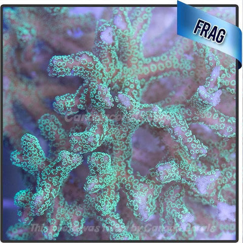 Electric Green Birdsnest Frags - Canada Corals