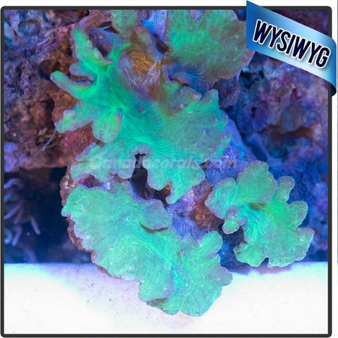 Elephant Ear Leather Colony WYSIWYG - Canada Corals
