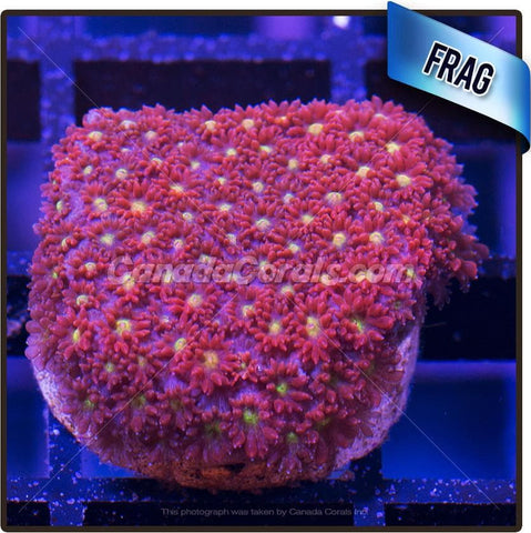 Red and Yellow Encrusting Flower Pot Goniopora