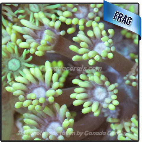 Neon Green Goniopora Frags - Canada Corals