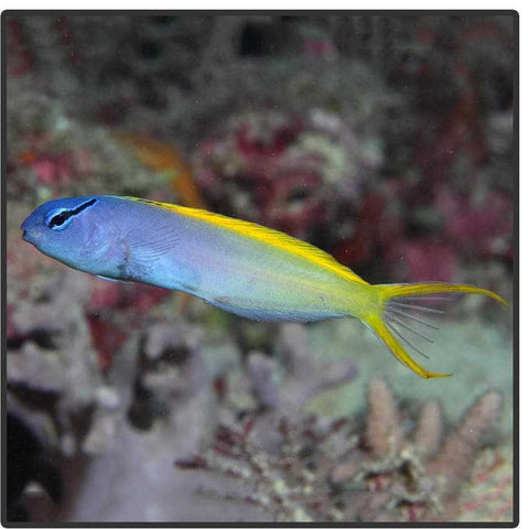 Forktail Blenny - Canada Corals