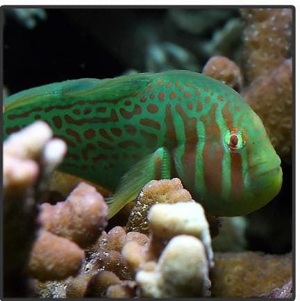 Green Clown Goby - Canada Corals