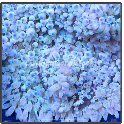 White Blue Tipped Sebae Anemone