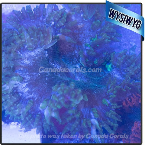 WYSIWYG Rock Flower Anemone 47
