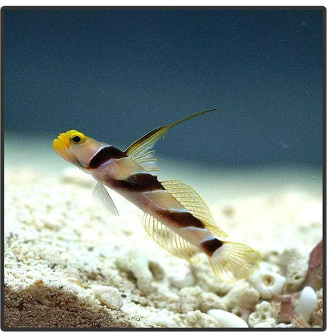 Hi-Fin Banded Goby - Canada Corals