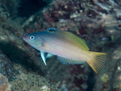 Purple Head Wrasse (Two Tone)