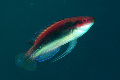 Temminckii Fairy Wrasse