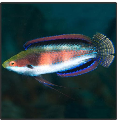 Katherine's Fairy Wrasse - Canada Corals