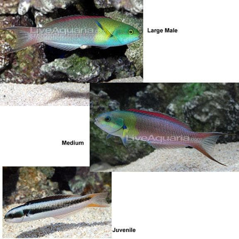 Blunthead Wrasse (Rainbow Wrasse) - Canada Corals