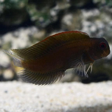 Black Sailfin Blenny (Dusky Blenny)