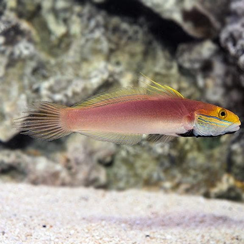 Bella Goby