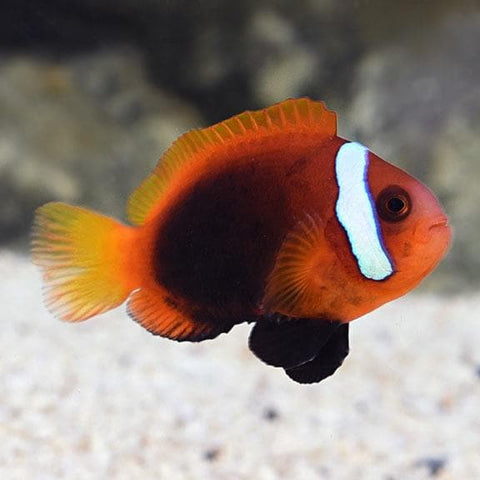 Black Anemone Clown Fish (Cinnamon) - Canada Corals