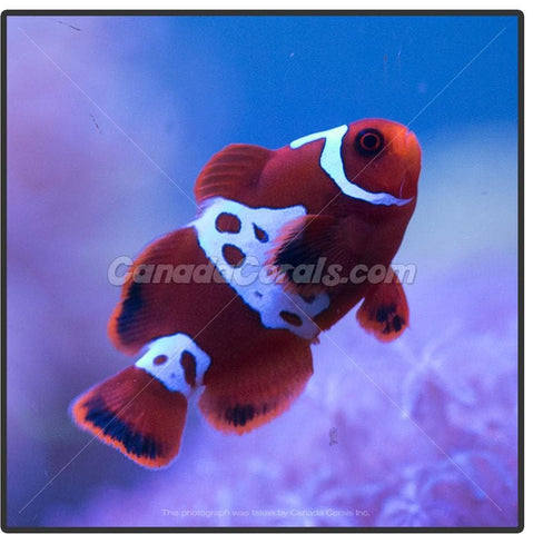 Lightning Maroon Clownfish - Captive Bred - Canada Corals