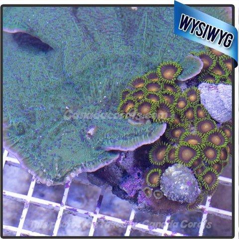 Eagle Eye Zoanthid/ Green Flowerpetal Monti Colony Combo WYSIWYG - LOCAL PICKUP ONLY