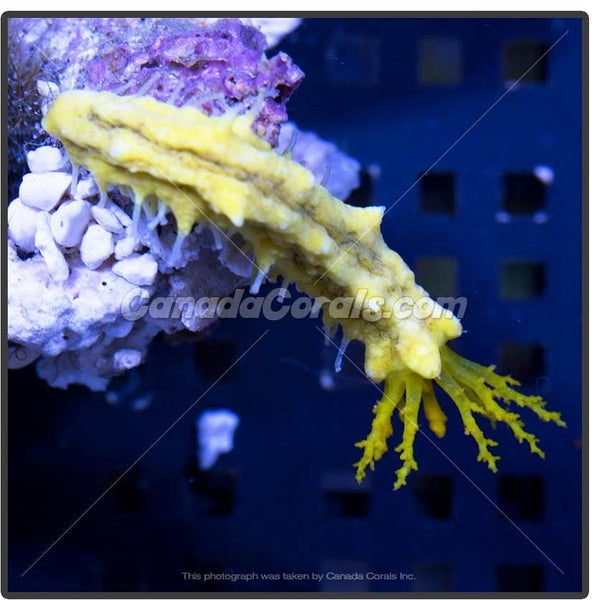 Mini Yellow Sea Cucumber