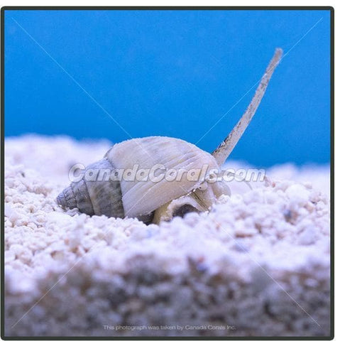 Assorted Nassarius Snails