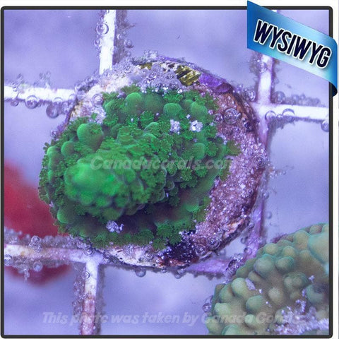 Green Forest Acropora 2 - Canada Corals