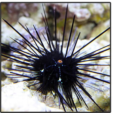 Black Long Spine Urchin - Canada Corals