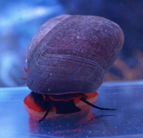 Red Foot Moon Snail