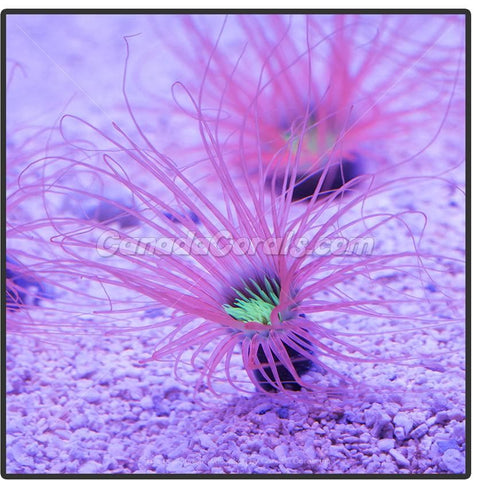 Pink Neon Center Tube Anemone - Canada Corals