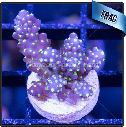 Purple Bonsai Acropora Valida Frag