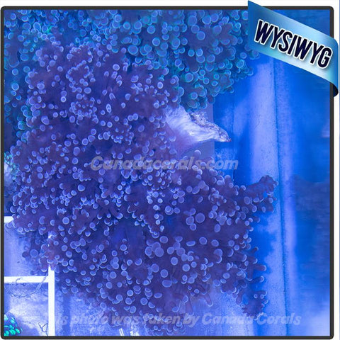 Dark Purple Frogspawn Colony WYSIWYG 7 - Canada Corals