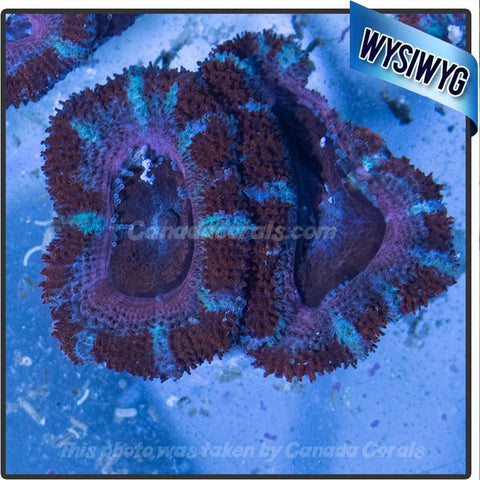 Red White and Blue Acan Lord WYSIWYG 5 - Canada Corals