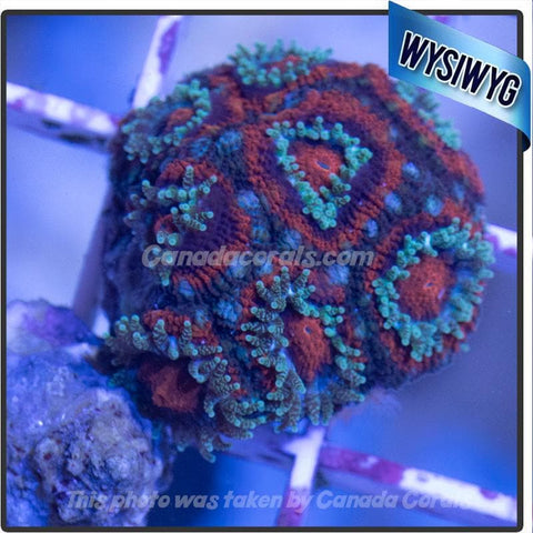 Blue Acan Mini Colony WYSIWYG