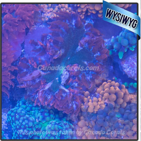 WYSIWYG Rock Flower Anemone 50