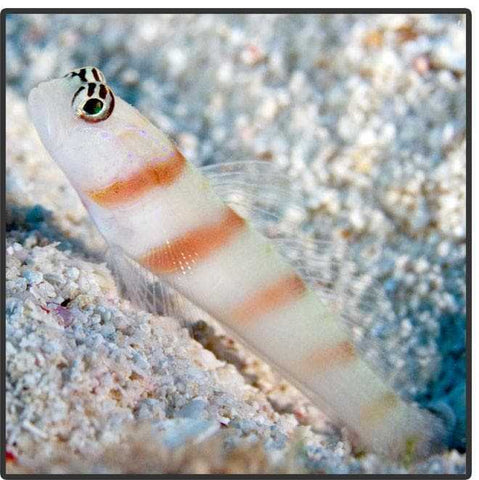 Banded Shrimp Goby (Steintz Goby) - Canada Corals