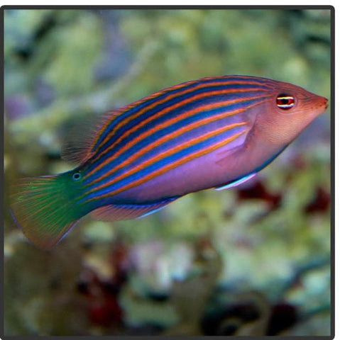 Six Line Wrasse - Tank Raised
