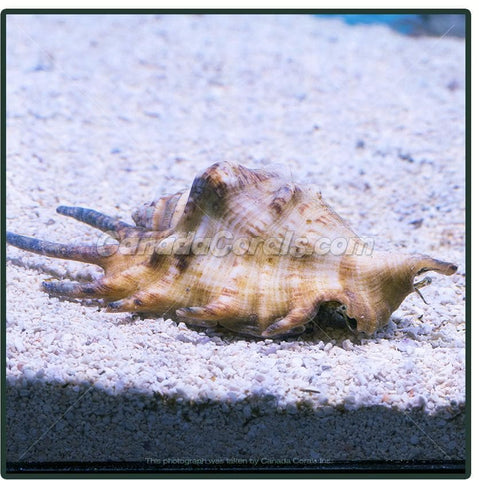 Spider Conch Snail