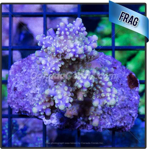 Gutsy Grape Acropora Secale
