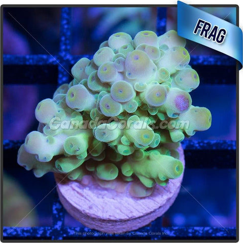 Lemon Lime Acropora Florida Frag