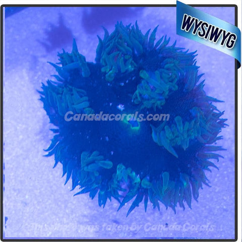 WYSIWYG Rock Flower Anemone 53
