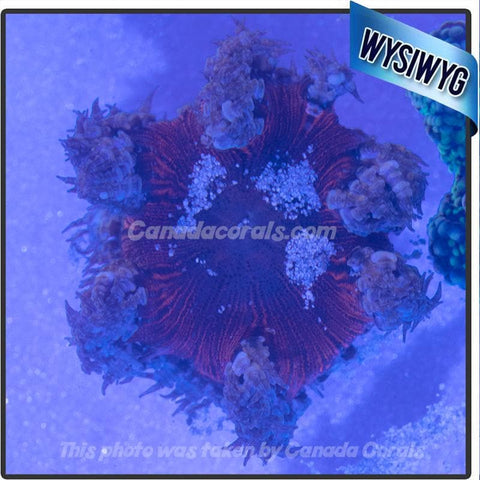 WYSIWYG Rock Flower Anemone 51