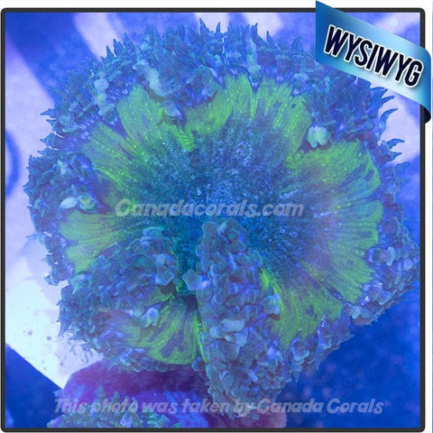 WYSIWYG Rock Flower Anemone 48