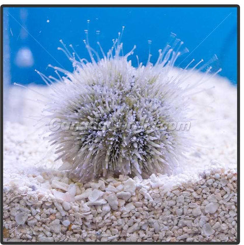 Assorted Pincushion Urchin - Canada Corals