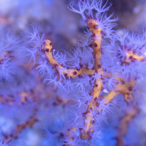 Yellow Finger Gorgonian Frag