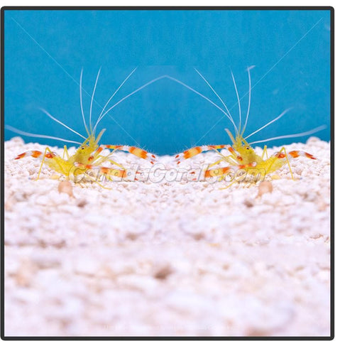 Yellow Coral Banded Shrimp Pair