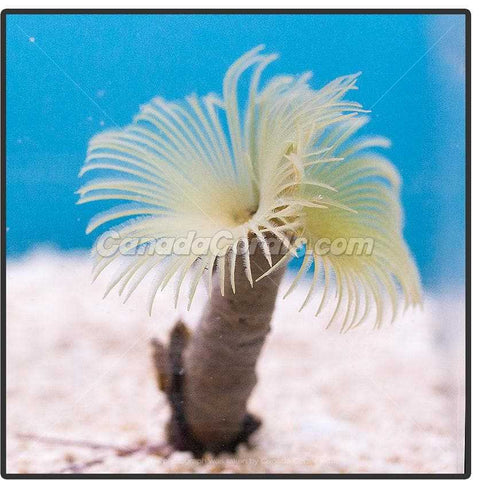 Mini Pale Yellow Feather Duster