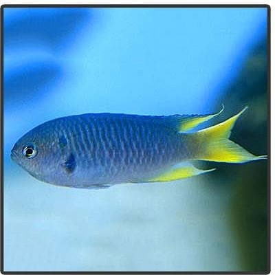 Yellow Tail Green Chromis