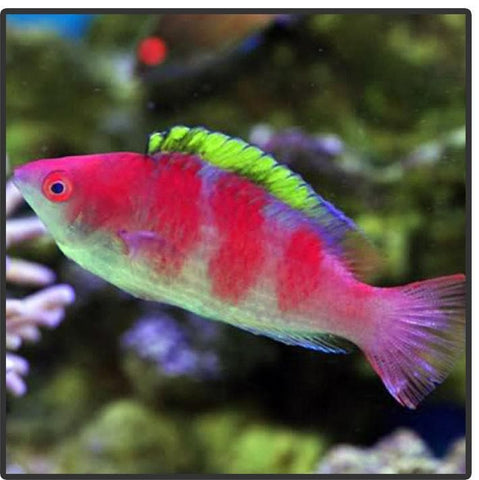 Yellow Fin Fairy Wrasse