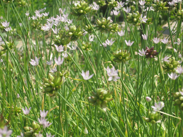 Meadow Garlic - Allium canadense ($1.25 per bulb)