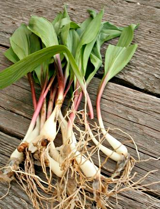 Ramps - Allium tricoccum ($2 per bulb) Fall shipping only!