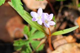 Spring Beauty - Claytonia virginica ($3 per tuber) Fall shipping only!
