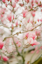 Load image into Gallery viewer, Japanese Magnolia