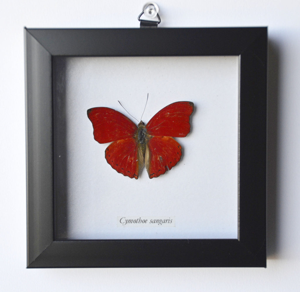 Red Glider Butterfly in Frame