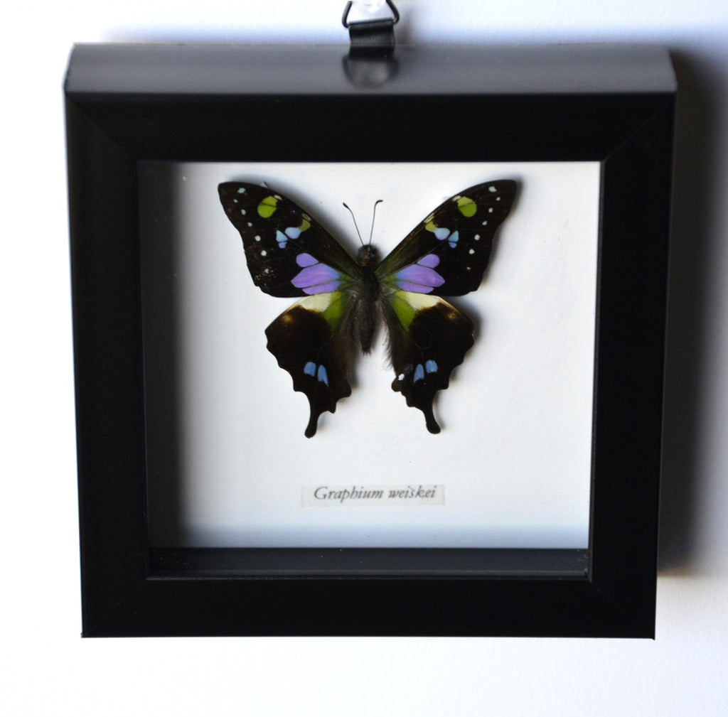 Purple Spotted Swallowtail in Black Museum Frame