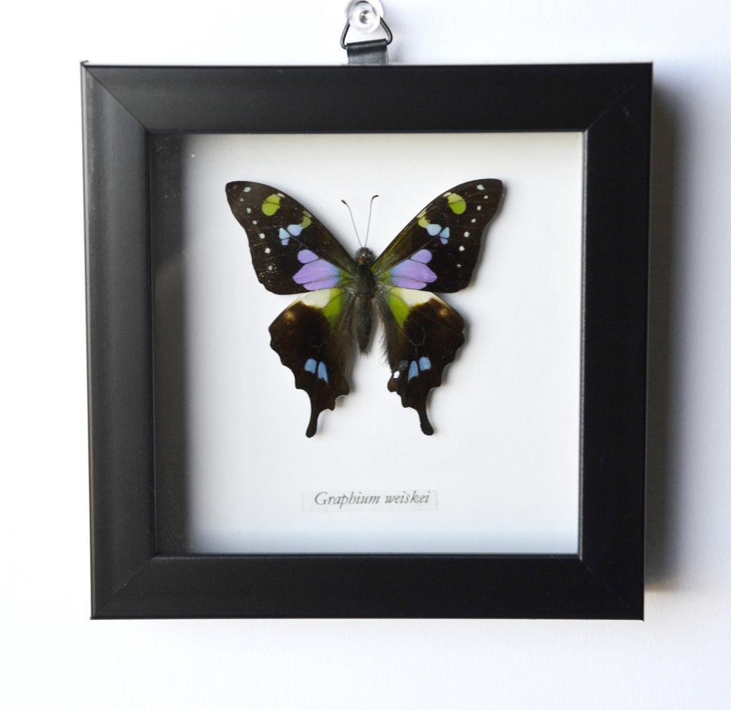 Purple Spotted Swallowtail Framed